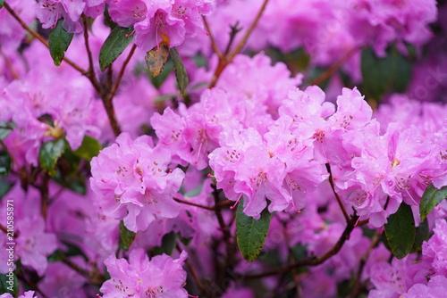 Fotobehang Azalea pink azalea flower