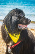 Bear the Newfoundland dog rests after swimming in the ocean at Pott's Point beach, Harpswell, ME