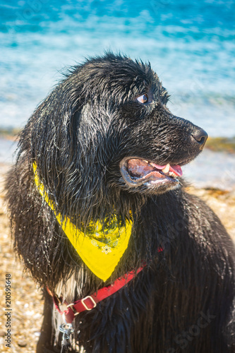 Bear The Newfoundland Dog Rests After Swimming In Ocean At Pott S Point Beach Harpswell