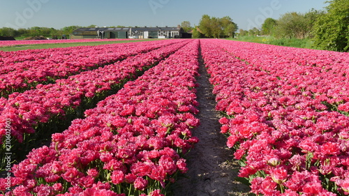 Aluminium Candy roze Tulipani colorati in Olanda