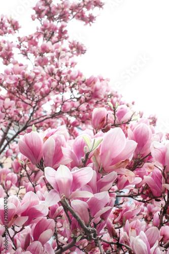rozowe-kwiaty-magnolii-na-galazkach