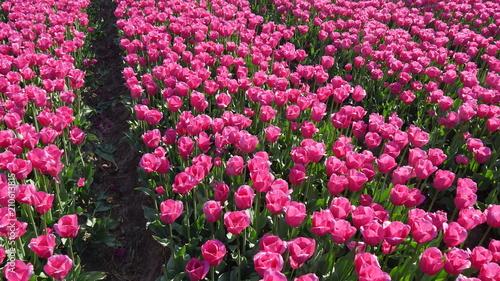 Plexiglas Candy roze Tulipani agricoltura in Olanda