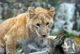Young lion cub in the wild portrait