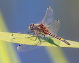 a big dragonfly (Leucorrhinia pectoralis)  - 210624402