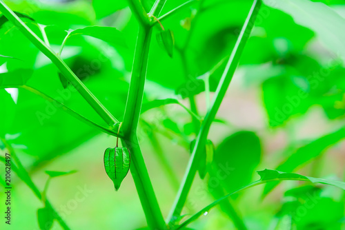 Cape Gooseberry is another herb that is commonly found. - 210628497
