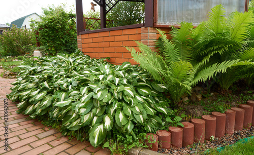 Hosta and fern grow in the flower bed