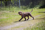 Brown dog outdoors. The breed is lagotto romagnolo also known as the Italian waterdog. - 210649420