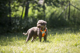 Brown dog outdoors. The breed is lagotto romagnolo also known as the Italian waterdog. - 210649457