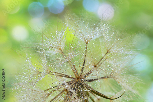 Aluminium Paardenbloemen Dew drops on a dandelion seed