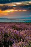 Beautiful lavender field landscape at the summer sunrise. Cloudy orange colorful sky over purple flowers with hilly fields on the background. Concept of lavender harvest - 210654472