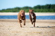 two american pit bull terrier dogs running on the beach together