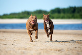 two american pit bull terrier dogs running on the beach together © otsphoto