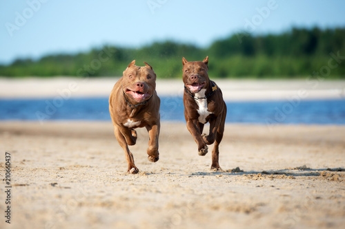 two american pit bull terrier dogs running on the beach together - 210660437