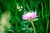 beautiful bright and unusual flower meadow cornflowers