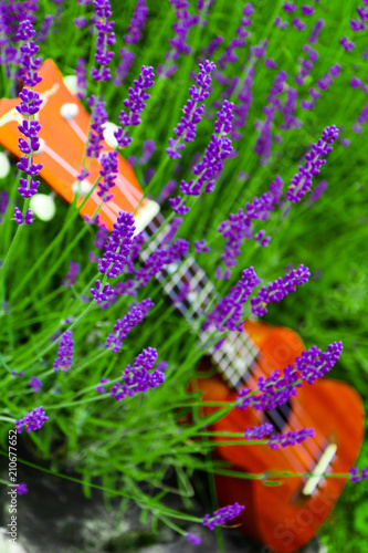 Small ukulele guitar on the lavender field, close up. Music and nature concept. - 210677652