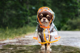 funny chihuahua dog posing in a raincoat  - 210686824
