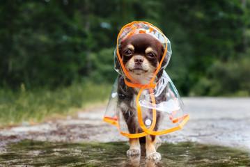 funny chihuahua dog posing in a raincoat  © otsphoto