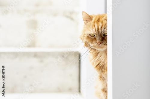 Fotobehang Kat Chat angora roux