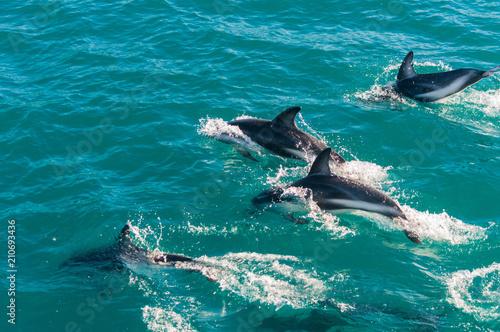 Fototapeta Delfin Gruppe in Kaikoura, Neuseeland 2