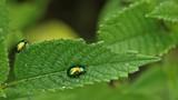 Prächtiger Blattkäfer (Chrysolina fastuosa) an Hohlzahn