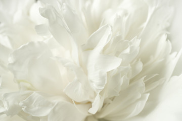 Blurred delicate rose petals and peonies, floral white background
