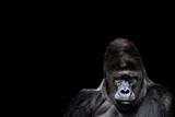 Portrait of a Gorilla. gorilla on black background, severe silverback - 210716646