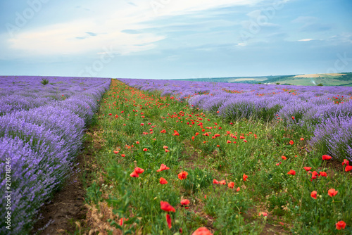 lavender field with poppy flowers, beautiful summer landscape