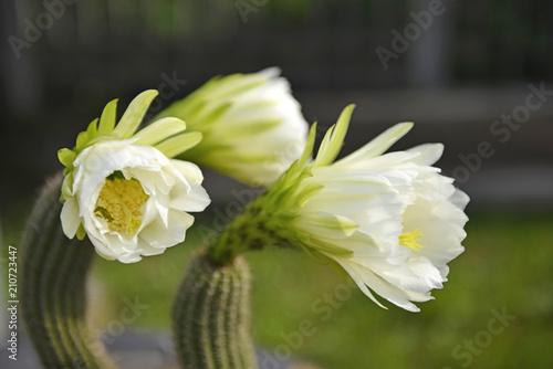 Foto Murales Cactus fiorito