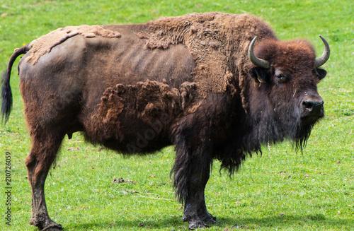 Fotobehang Bison Bison
