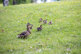 Baby ducks in the park. - 210727013