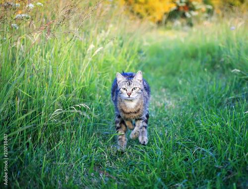 Fotobehang Kat cute beautiful striped kitten fun and rushing through the green summer meadow playing