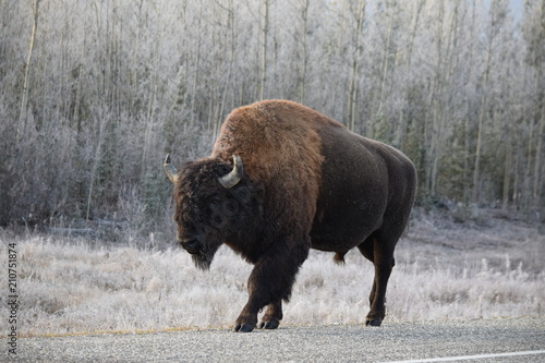 Fotobehang Bison Walking Bison