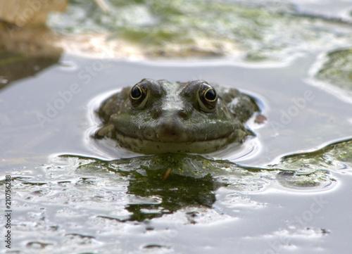 Fotobehang Kikker Kröte im Wasser