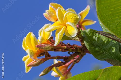 Plexiglas Plumeria fleurs de frangipanier sur fond de ciel bleu