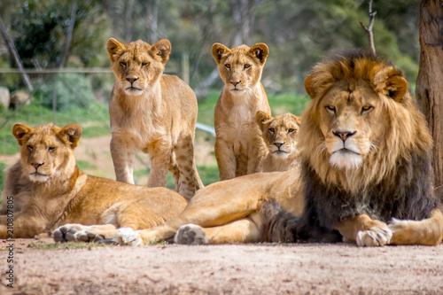 Fototapeta Lion Family