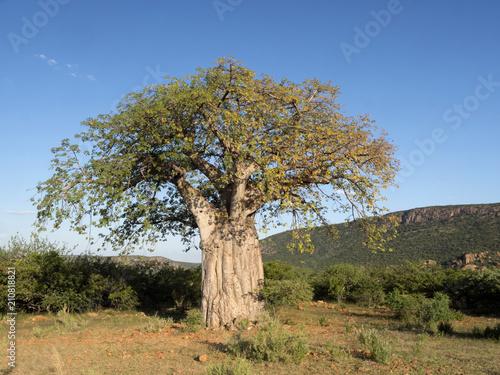 Fotobehang Baobab Great Baobab, North Namibia