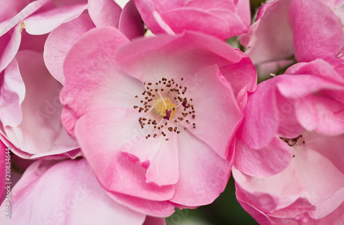 Pink tea roses are blooming - 210834644