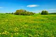 Meadow full of Dandelion Flowers in Spring Landscape under Blue Sky