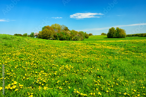 Fototapeta Meadow full of Dandelion Flowers in Spring Landscape under Blue Sky