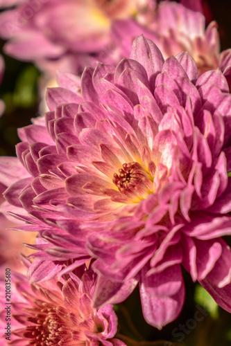 beautiful callistephus chinensis flower in summer time - 210835680