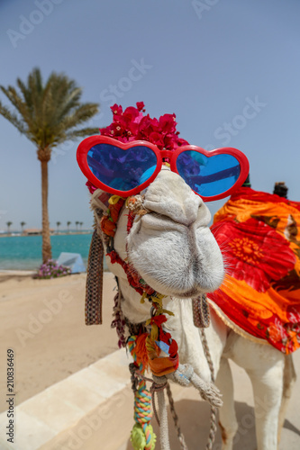 Aluminium Kameel Funny camel with sunglasses dressed in costume entertaing tourists