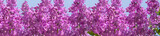header springtime bunches of lilac blossoms on branches