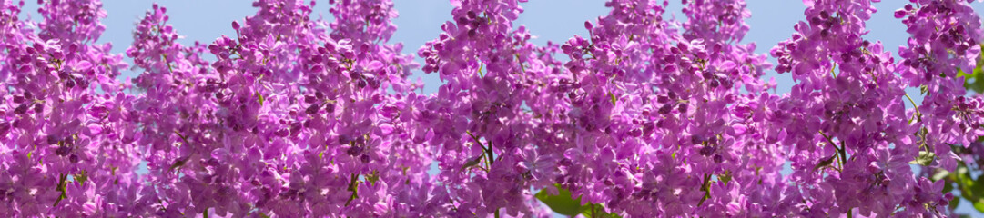 header springtime bunches of lilac blossoms on branches © lms_lms
