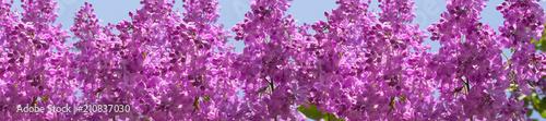 nagłówek wiosenne bukiety kwiatów bzu na gałęziach
