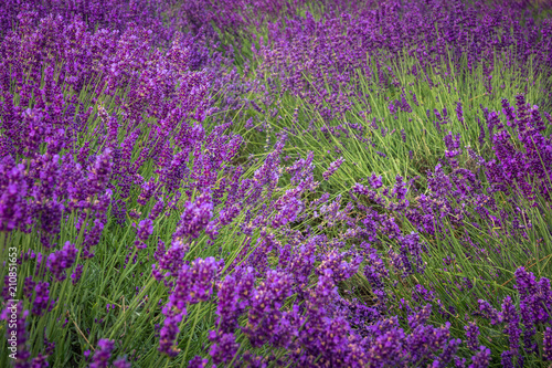 Fotobehang Snoeien Lavender field in Ostrow near Cracow, Malopolskie, Poland