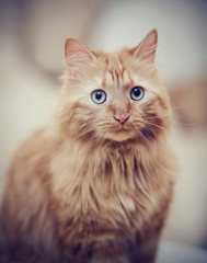 Portrait of a fluffy striped cat, red color