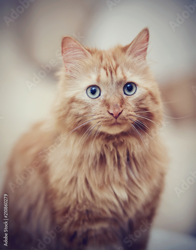Portrait of a fluffy striped cat, red color - 210860279