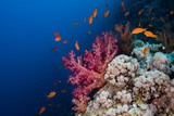 Lyretail anthias (Pseudanthias squamipinnis) swimming around a large purple soft coral, small fish with bright orange body. - 210870053