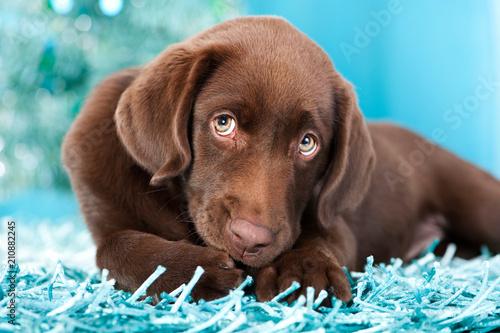 Leinwanddruck Bild Labradorwelpe schleckt sich die Pfote