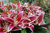 Orientalische Lilie Valentino